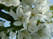 švestkový květ