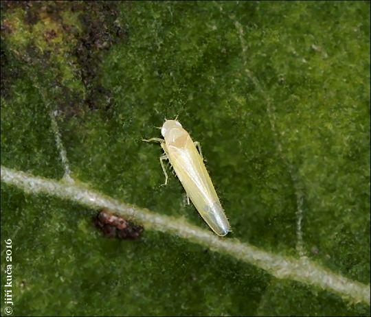 Alnetoidea alneti