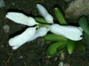 Kvetoucí hyacint východní v noci