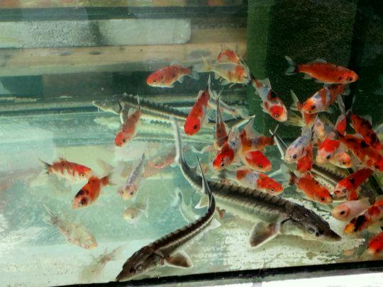 Rybičky v akváriu: Václav Kovalčík