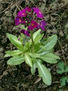 Kvetoucí prvosenka zoubkatá ´Lilac´