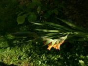 Kvetoucí gladiol: Václav Kovalčík, Zlín