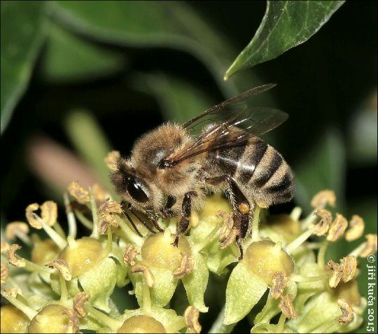 Včela medonosná kraňská