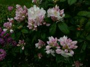 Kvetoucí Rhododendron