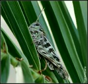 Saranče zelenokřídlá