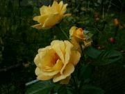 Kvetoucí růže: Václav Kovalčík, Zlín