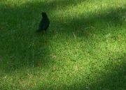 Kos černý