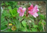 Květena v Dolomitech