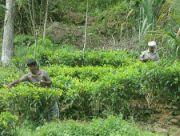 Sběrači čaje
