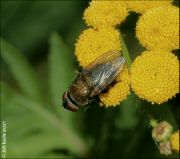 Pollenia amentaria
