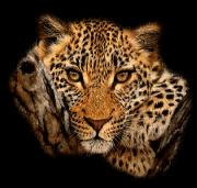 zvire-tigr