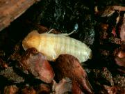 Detail švába