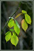 Silvestrovská zeleň