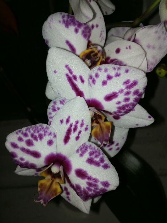 Phalaenopsis v noci: Václav Kovalčík
