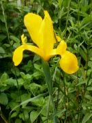 Kvetoucí iris: Václav Kovalčík, Zlín