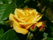 Horká růže: Václav Kovalčík