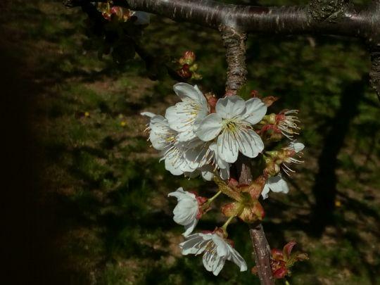 Kvetoucí třešeň: Václav Kovalčík, Zlín