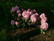 Kvetoucí Rhododendron: Václav Kovalčík