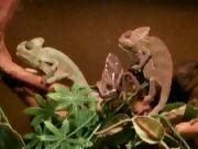 Chameleón jemenský: Václav Kovalčík