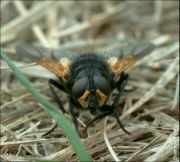 Moucha kosmatka