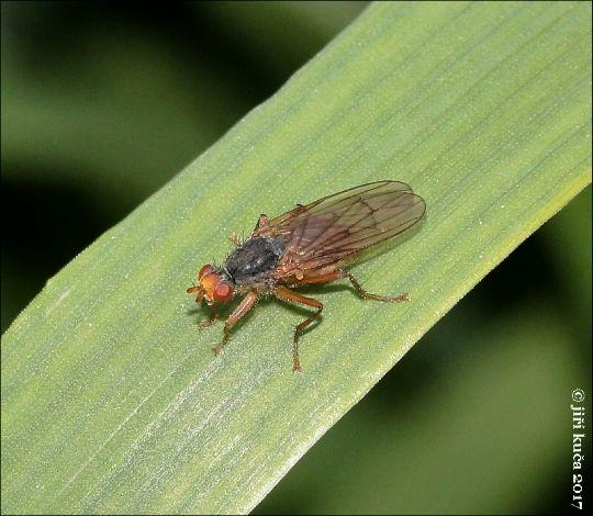 Scathophaga inquinata