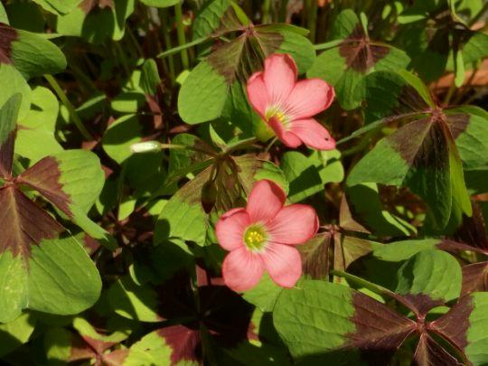 Kvetoucí šťavel: Václav Kovalčík, Zlín