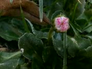 Kvetoucí sedmikráska v lednu 2021