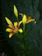 Kvetoucí lilie v noci: Václav Kovalčík