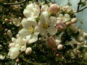 Kvetoucí jabloň: Václav Kovalčík, Zlín
