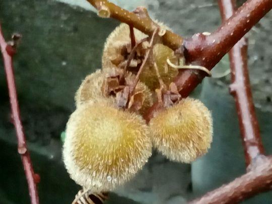 Plody kiwi: Václav Kovalčík, Zlín