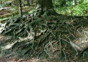 Kořeny