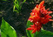 Kvetoucí dosna srpen 2009
