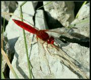 Vážka červená