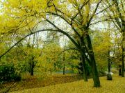 sonáta ve žluté