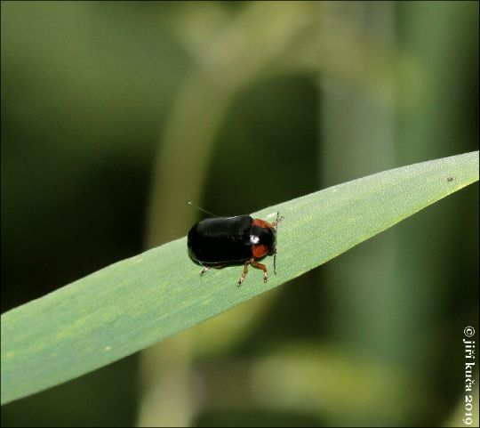 Smaragdina affinis affinis