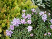 růžový skalnič.rododendron