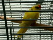Kakariki rudočelý žlutá mutace
