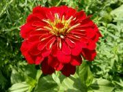 Kvetoucí cínie
