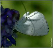Modrásek krušinový
