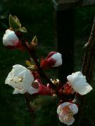 Kvetoucí meruňka: Václav Kovalčík, Zlín