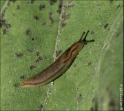 Geomalacus anguiformis cf