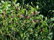 Borůvky kvetou