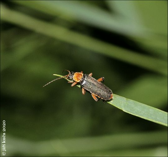 Páteříček černavý var. immaculata