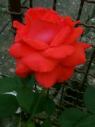 Kvetoucí růže večer: Václav Kovalčík