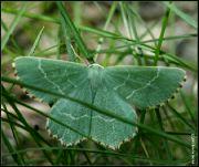Zelenopláštník mateřídouškový