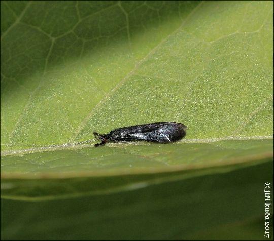 Mystacides azureus