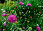 Rozkvetlé bodláky, Botanická zahrada TP