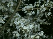 Kvetoucí mirabelka v noci