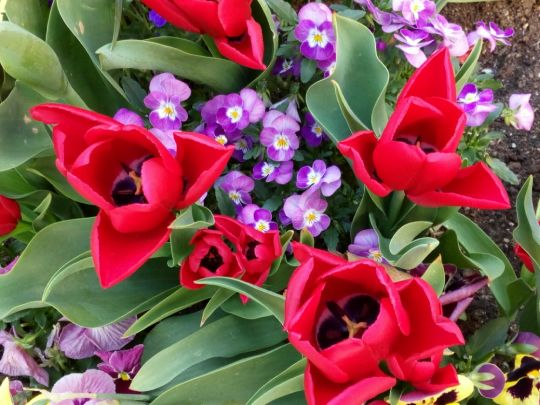 Kvetoucí tulipány ve městě