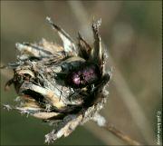 Krytohlav hedvábitý